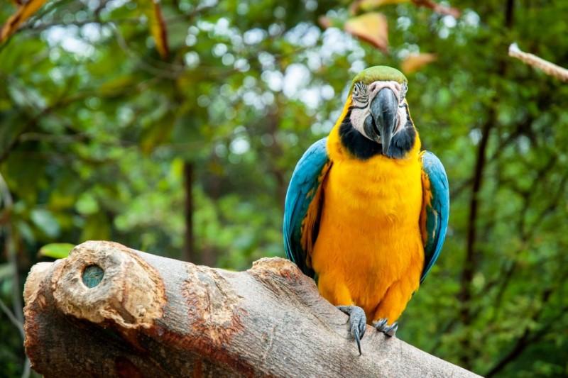 papegaai-Amazone-jungle-Ecuador