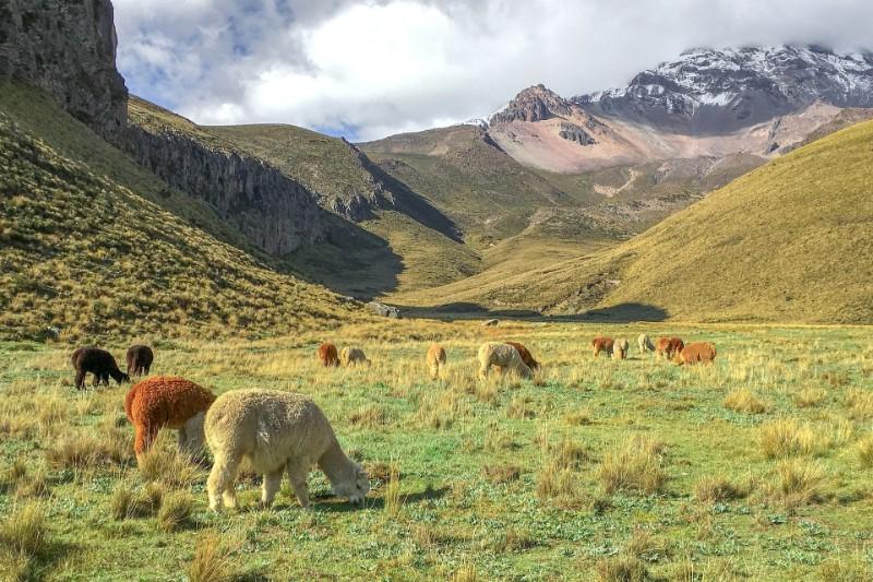 alpaca lama ecuador natuur andes berge-001